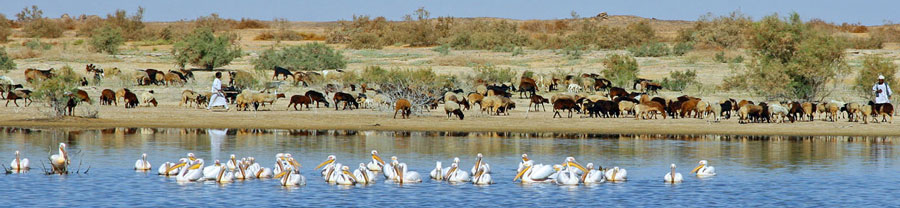 Pelicans on Lake Nasser